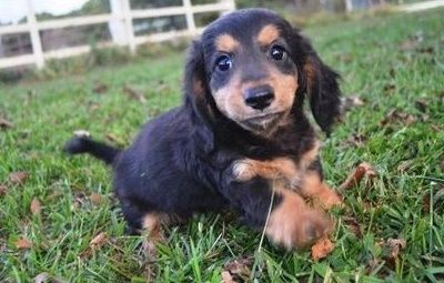 Temperate Miniature Dachshund Puppies Sioux Falls South Dakota Pets
