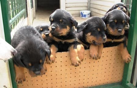 Joyeous Litter Of Rottweiler Puppies For Sale Ogden Utah Pets For