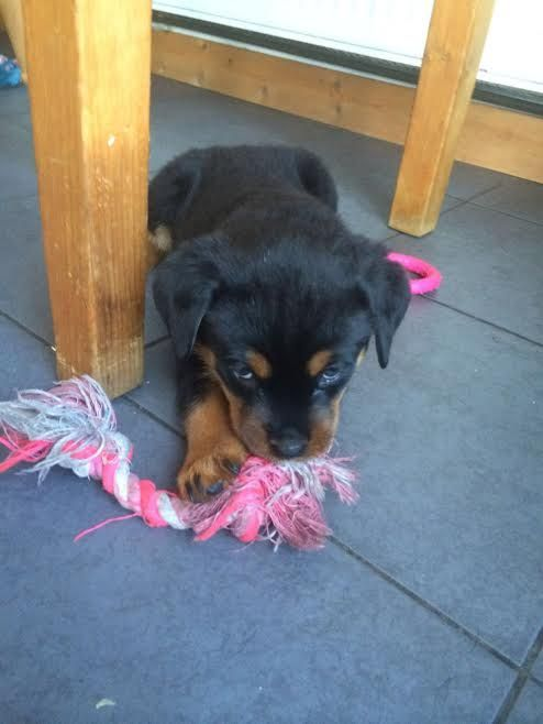 Cute Rottweiler Puppies Detroit Michigan Pets For Sale Classified