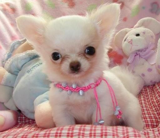 Outgoing Full Pedigree Chihuahua Puppies Detroit Michigan Pets For