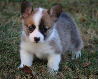 Pembroke Welsh Corgi Puppies For Sale Boca Raton Florida Pets For