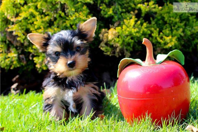 Teacup Yorkie Puppies Beautiful El Dorado Arkansas Pets For Sale