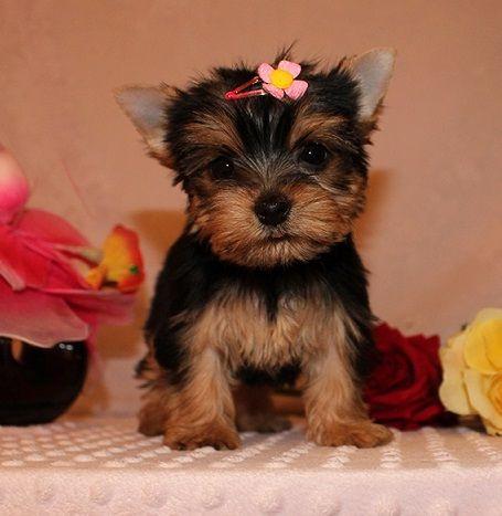 Affectionate Teacup Yorkies Puppies El Dorado Arkansas Pets For Sale