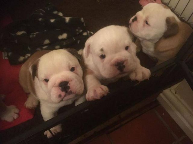 English Bulldog Puppies are strong, healthy