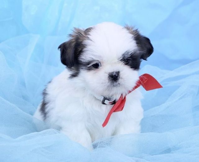 Cute And Adorable Shih Tzu Puppies For Homes Gary Indiana Pets For