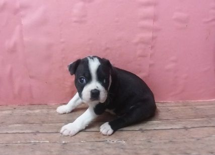 Nfjsa Boston Terrier Puppies Akron Ohio Pets For Sale Classified Ads