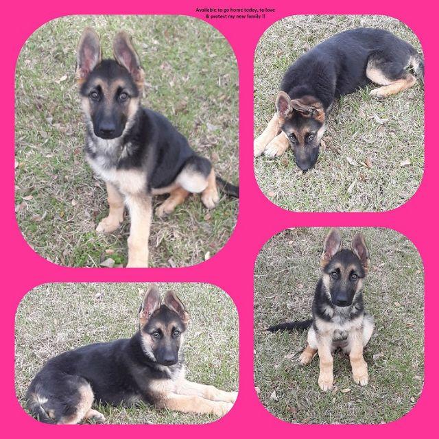Akc German Shepherd Puppy San Antonio Texas Pets For Sale Classified