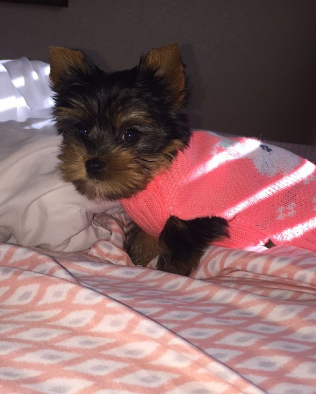 Very Tiny Teacup Yorkie Puppies Now Available San Antonio Texas Pets