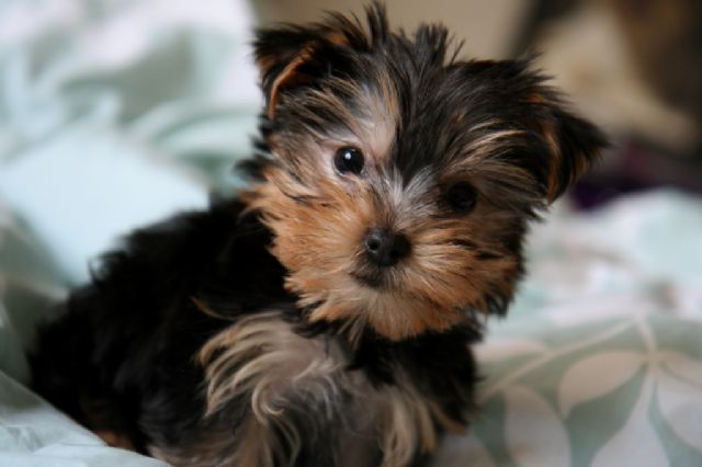 Two Awesome T Cup Yorkie Puppies San Antonio Texas Pets For Sale