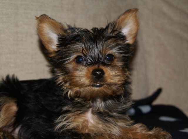 Tiny Adorable Baby Yorkie Puppy San Antonio Texas Pets For Sale