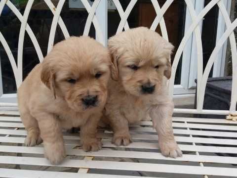 Puppies For Sell And Adoption Billings Montana Pets For Sale