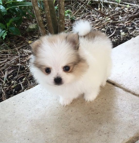 Charming Teacup Pom Puppies