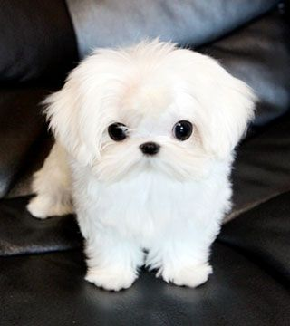 I Have 2 Teacup Maltese Puppies Key West Florida Pets For Sale