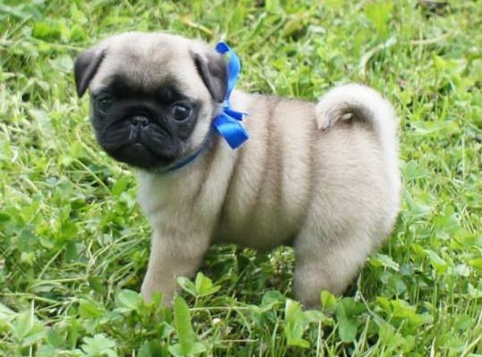 Healthy Pug Puppies Tulsa Oklahoma Pets For Sale Classified Ads