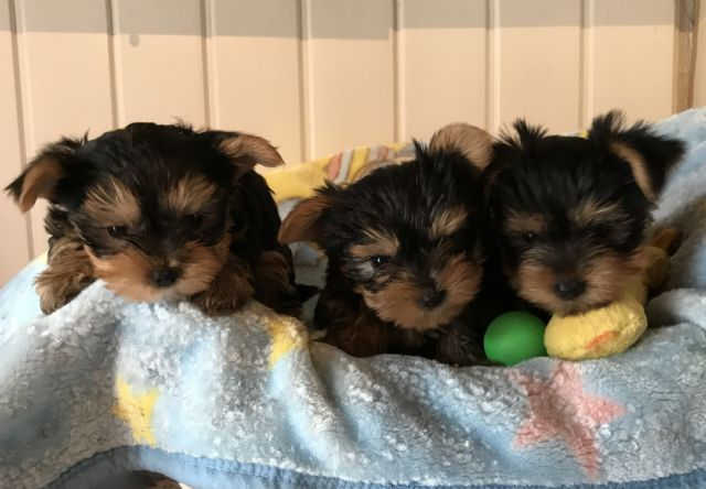 Charming Teacup Yorkie Puppies For Sale Tulsa Oklahoma Pets For Sale