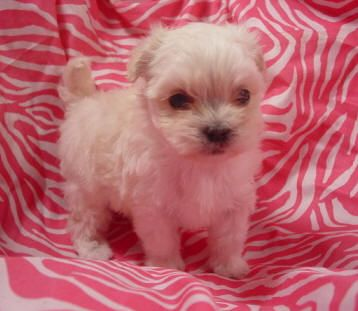 Yorkies, Poodles, Maltese, and Designer Breeds!