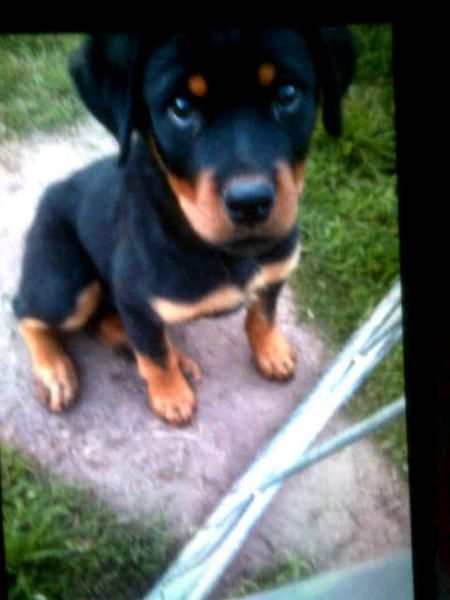 Beautiful Litter Of Rottweiler Puppies Dallas Texas Pets For Sale