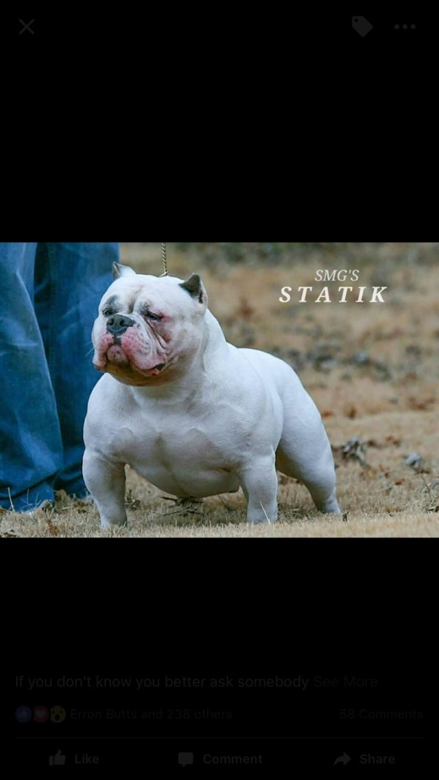 American Bully Puppies Dallas Texas Pets For Sale Classified Ads