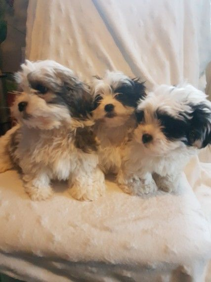 A Stunning Imperial Female Shih Tzu Corpus Christi Texas Pets For