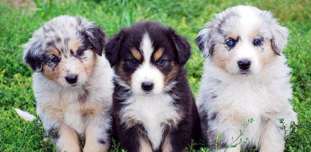 Toy Australian Shepherd Sms443 877 4750 Dallas Texas Pets For Sale