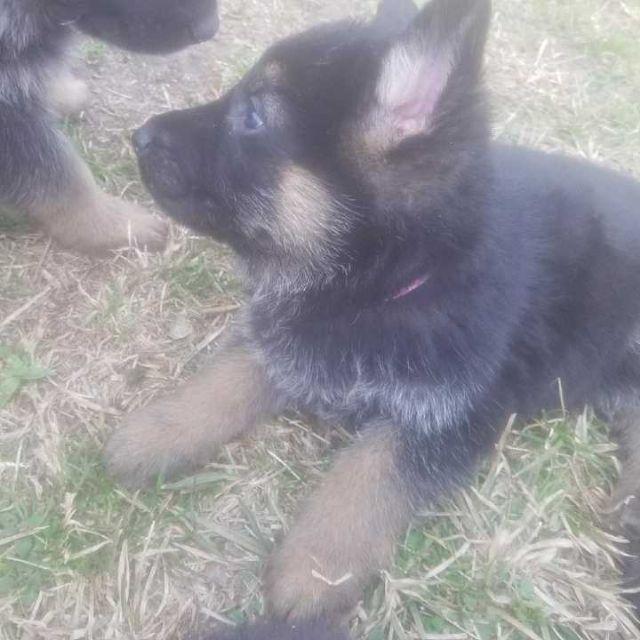 ??CKC Registered German Shepperd Puppies for Adopt