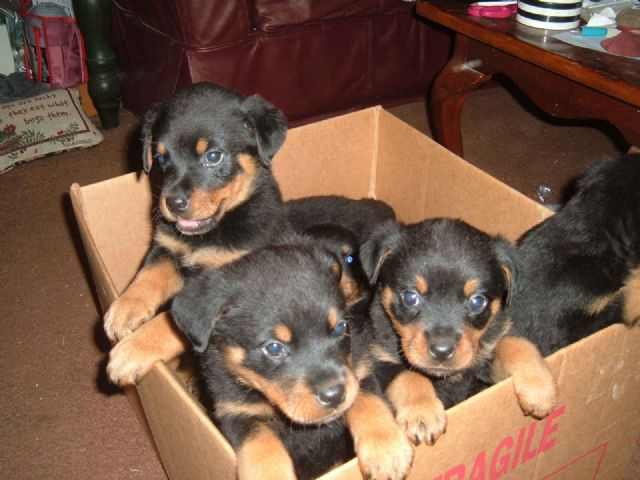 Akcdocked Rottweiler Puppies For Sale Provo Utah Pets For Sale