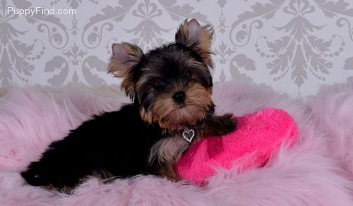 Akc Yorkie Puppies Are Here Bethesda Maryland Pets For Sale