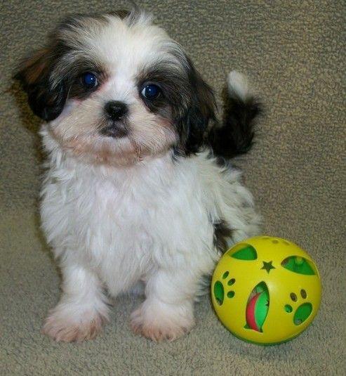 Hungarian Vizsla Puppies Hattiesburg Mississippi Pets For Sale