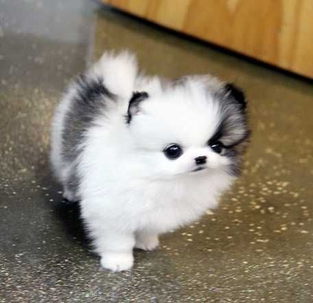 Cute Pomeranian Puppies For Adoption Detroit Michigan Pets For Sale
