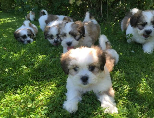 Adorable And Lovely Shih Tzu Puppies For Free Sacramento