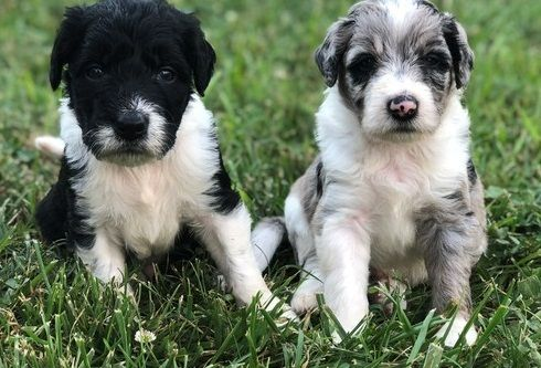 Nvhfg Good Border Collie Puppies Available For Sal Sacramento