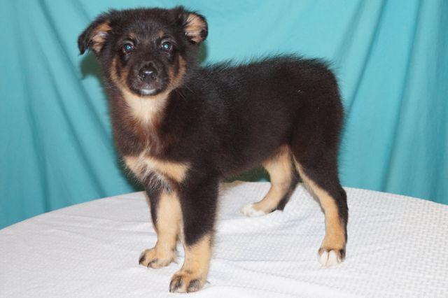 Gorgeous Ascaukc Australian Shepherd Puppies Conroe Texas Pets For