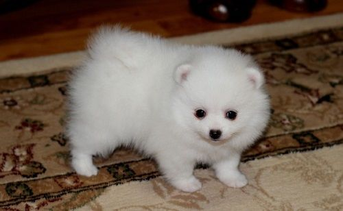 ?Cute TeaCup Pomeranian Puppies Available