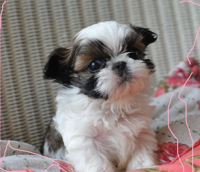 Charming Shih Tzu Puppies For Sale Orlando Florida Pets For Sale