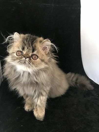 Brown Patched Tabby CPC Persian kitten for sale
