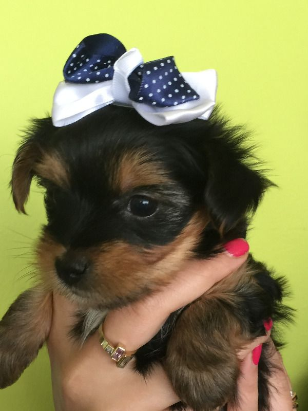 Tiny Teacup Yorkshire Terrier Yorkie Puppies Chicago Illinois Pets