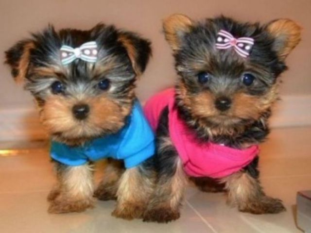 Teacup Yorkie Puppies For Adoption Now Chicago Illinois Pets For