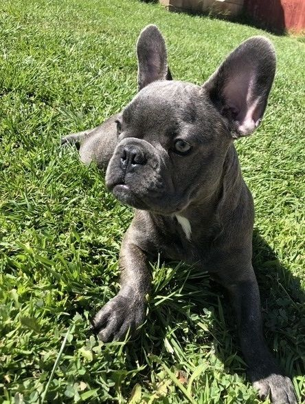 Attractive French Bulldog Puppies Available Chicago Illinois Pets