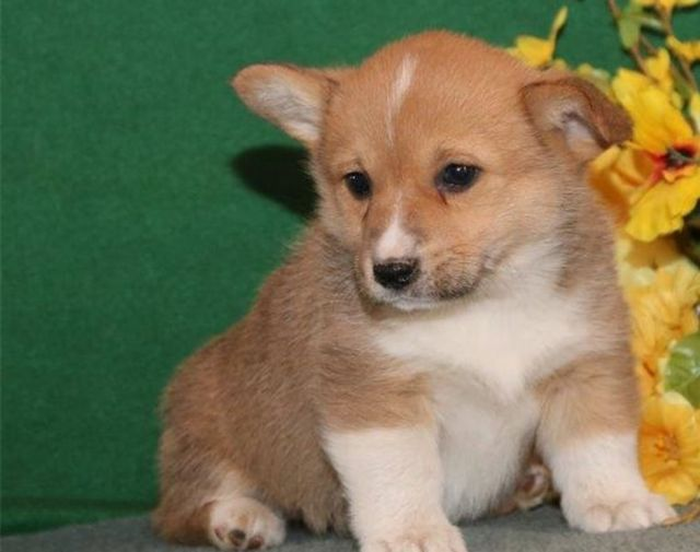 Akc Male Female Pembroke Welsh Corgi Puppies Gainesville Florida