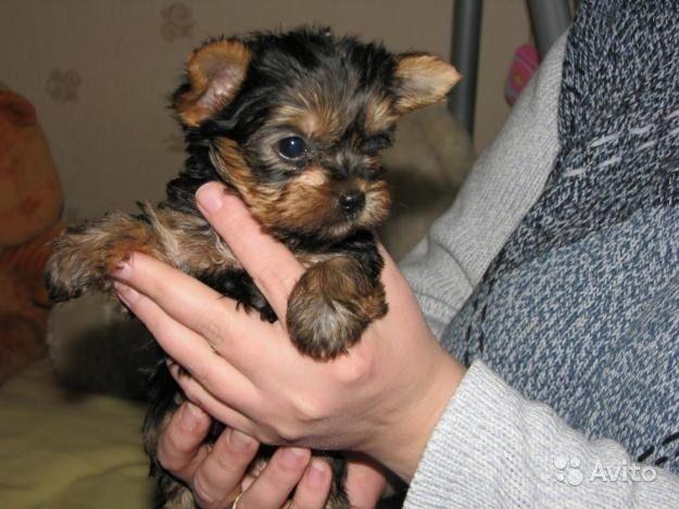 Yorkshire Terriers Teacup Yorkies Puppies Little Rock Arkansas