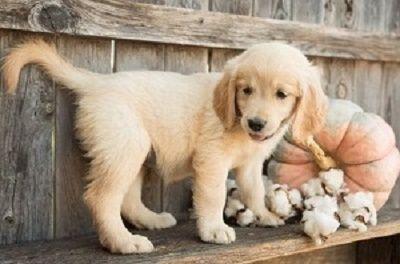 Honest Golden Retriever Puppies Available Little Rock Arkansas Pets