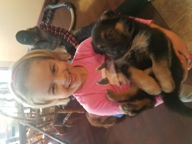 German Shepherd Puppies Des Moines Iowa Pets For Sale Classified Ads