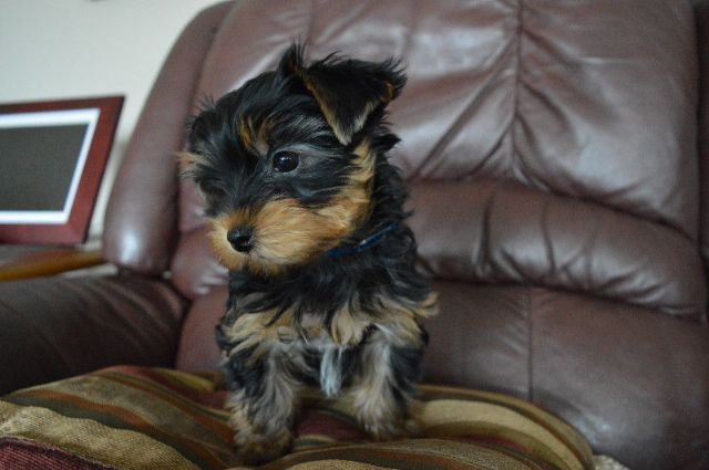 Teacup Yorkie And Regular Girls And Boys Des Moines Iowa Pets For