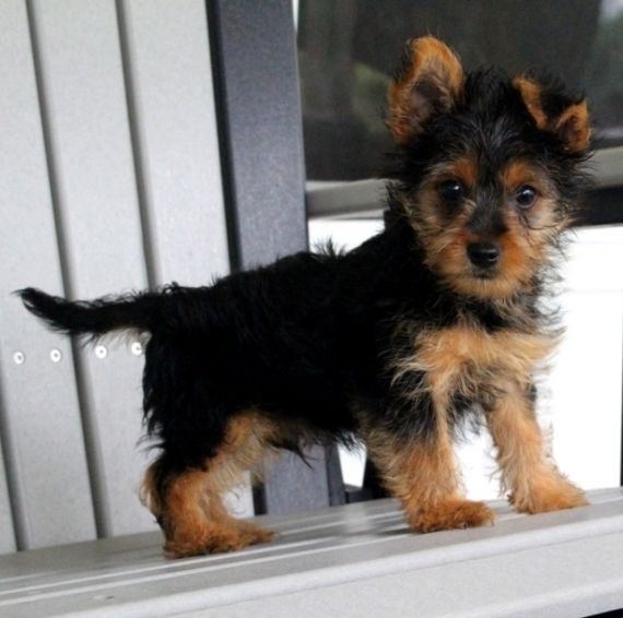 Yorkie Puppies For Sales Albany Georgia Pets For Sale Classified Ads