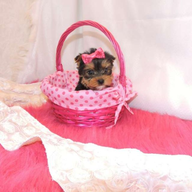 Daryl Teacup Yorkie Pups Ready Stockton California Pets For Sale