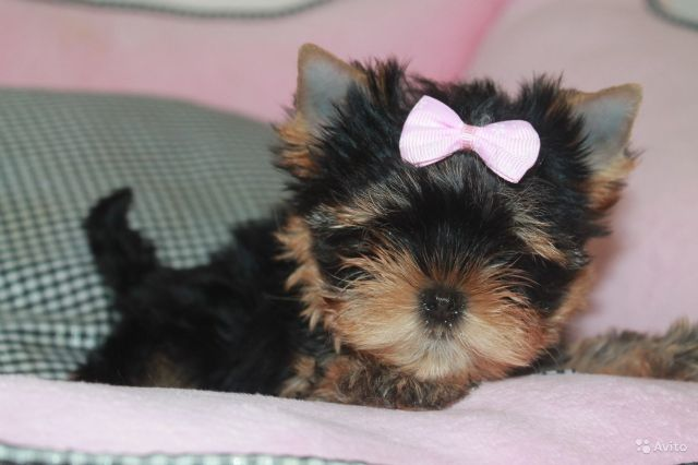 Yorkie And Yorkie Mix Puppies Alpena Michigan Pets For Sale