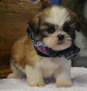 Dddshow Quality Shih Tzu Puppies For Sale Marquette Michigan