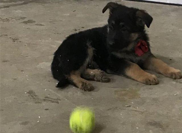 Darling German Shepperd Pups