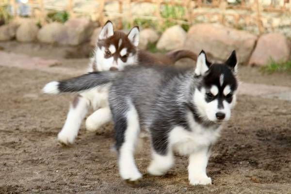 Registered Purebred Siberian Husky Puppies Champaign Illinois Pets