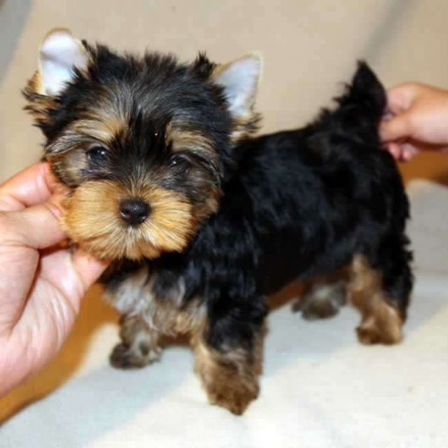 Cute Teacup Yorkie Puppies For Sales Casper Wyoming Pets For Sale
